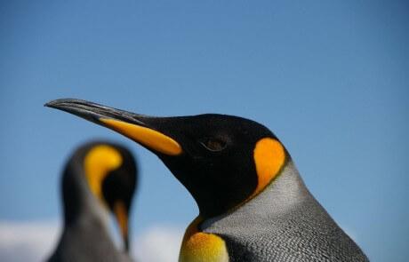 הפינגווין ששיגע אותי